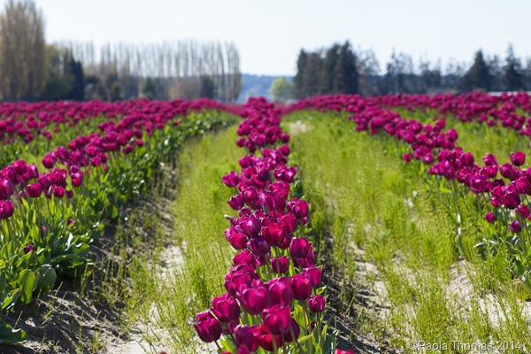 Skagit Valley Tulip Fest - photography by www.paolathomas.com