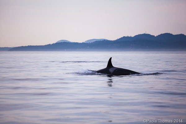 Orcas in the San Juans - photography by www.paolathomas.com