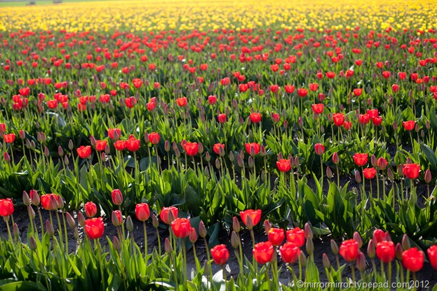 washington-tulip-fest (1 of 1)-3